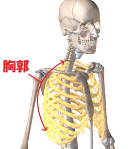 胸郭と頭部