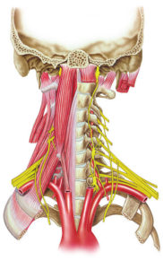Secção posterior do crânio e pescoço, mostrando algumas estruturas, como nervos da base e o plexo braquial.